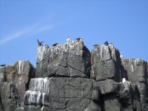 sea birds on a cliff