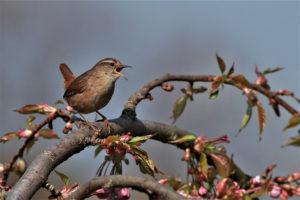 british garden bird calls