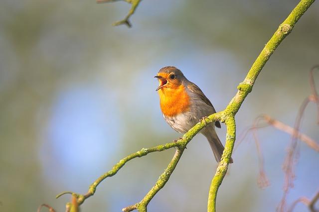 British robin singing on a branch
