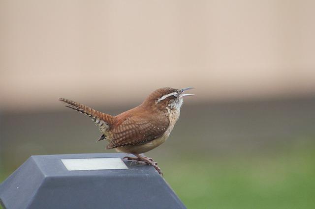 small bird, a wren, singing