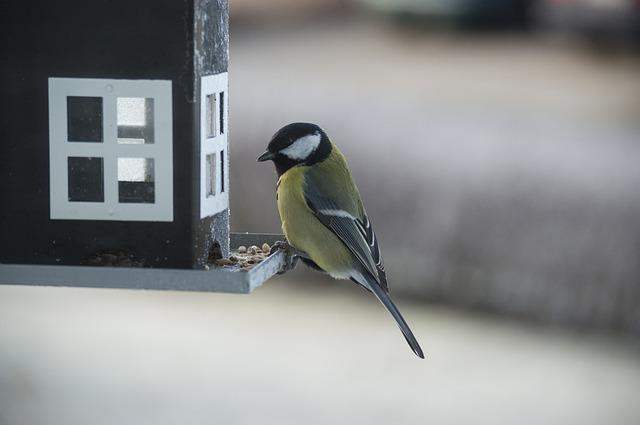 great tit on garden bird feeder