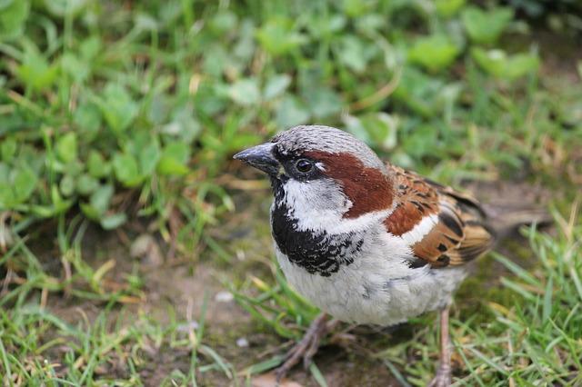 male sparrow in grass of garden