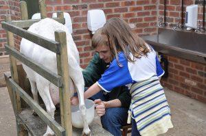 milking a goat at a petting farm