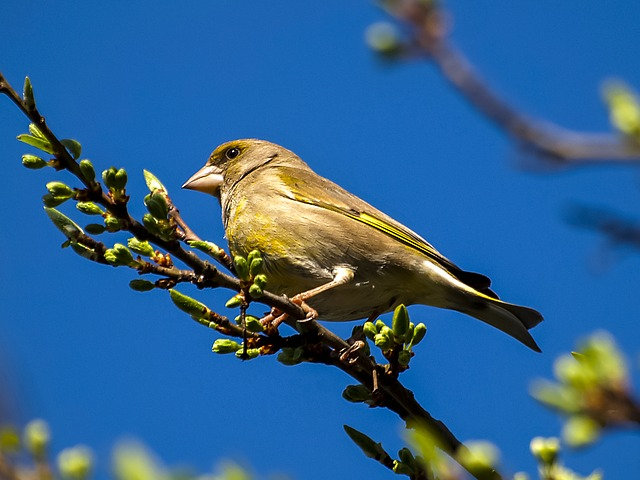 green finch on a branch with blue sky