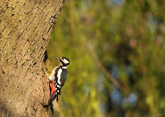 greater spotted woodpecker on a tree trunk